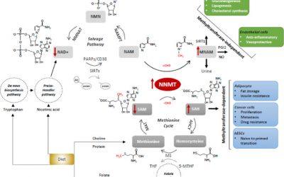 Nicotinamide N-methyltransferase: At the crossroads between cellular metabolism and epigenetic regulation