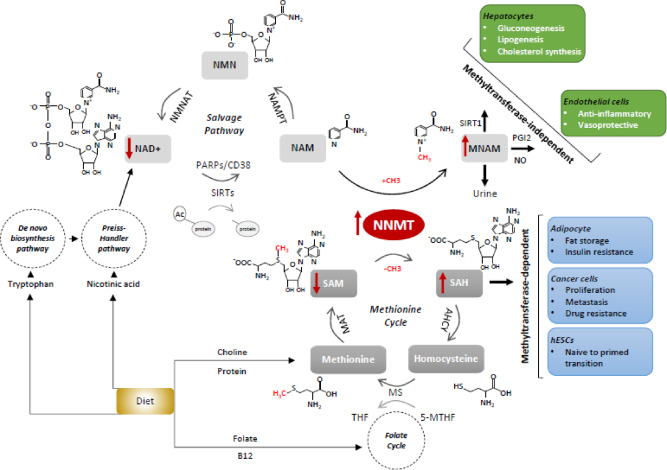 Nicotinamide N-methyltransferase: At the crossroads between cellular metabolism and epigenetic regulation