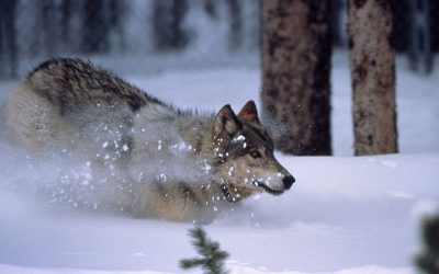 Socioeconomic characteristics of suitable wolf habitat in Sweden