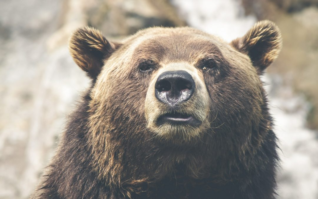 Does artificial feeding affect large carnivore behaviours? The case study of brown bears in a hunted and tourist exploited subpopulation